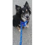 Blue Jays dog leash