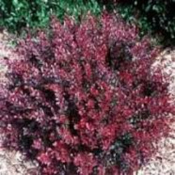 Barberry Garden Plant